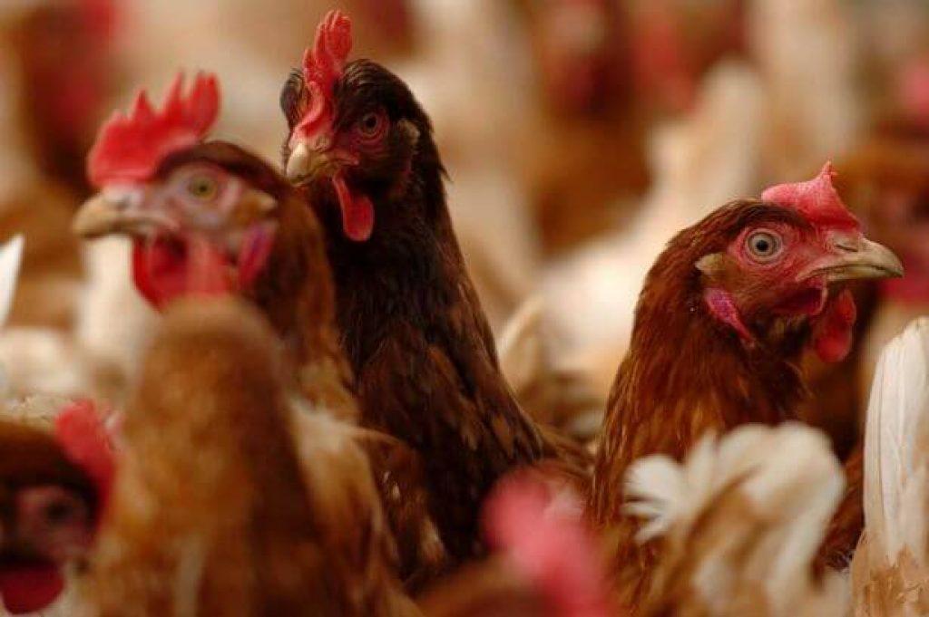 En ucuz ve sağlıklı Lohman Tavukları Süslü Kanat'da !