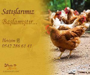 Hastalıklar karşısında direnci ve yumurta kalitesi yüksek birbirinden kaliteli tavuklar suslukanat.com'da!