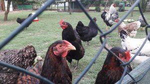 Korunaklı bir ortamda beslenen Wyandotte ve Australorp tavukları.