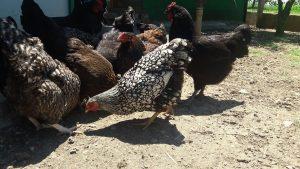 Bir arada beslenen Wyandotte, Australorp ve Pleymut tavukları.