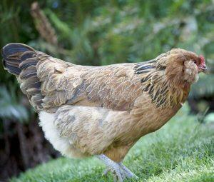Son dönemde oldukça popüler hale gelen Ameraucana tavuk ırkı.
